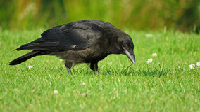 Carrion crow bird looking for food Royalty Free Stock Image