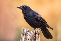 Carrion crow bright background stock image