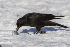 Carrion Crow che mangia i molluschi Fotografia Stock Libera da Diritti