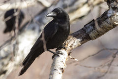 Carrion Crow che si siede su un autunno soleggiato della betulla della pietra del ramo Fotografia Stock