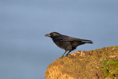 Carrion Crow on cliff edge Royalty Free Stock Photo