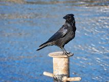 Carrion Crow at the Cobb. Close-up of a carrion crow corvus-corone perched on a mooring at the Cobb royalty free stock photo