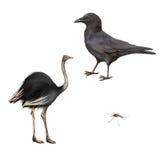 Carrion Crow, corone di corvo, struzzo isolato Fotografia Stock