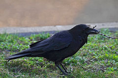 Carrion Crow (Corvus corone) Royalty Free Stock Photo