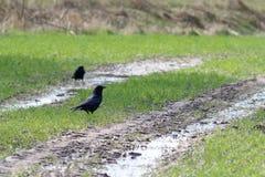 Carrion Crow Corvus-corone Lizenzfreie Stockfotografie