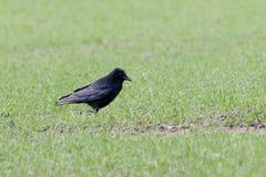 Carrion Crow Corvus-corone Stockfotos