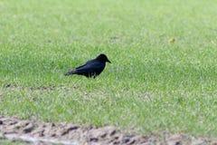 Carrion Crow Corvus-corone Stockbilder