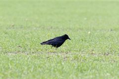 Carrion Crow Corvus-corone Lizenzfreie Stockfotos