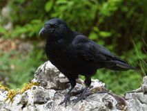 Carrion crow, corvus corone Royalty Free Stock Photos
