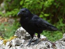 Carrion crow, corvus corone Royalty Free Stock Photos
