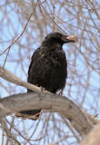 Carrion Crow (Corvus corone) with the Bone. A carrion crow (Corvus corone) sits on the branch in March in the Ural region Stock Photography