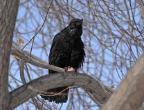 Carrion Crow (Corvus corone) croaking. A carrion crow (Corvus corone) sits on the branch in March in the Ural region Stock Photos