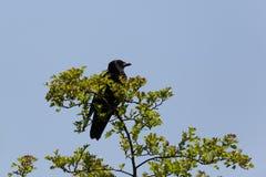 Carrion Crow Corvus-corone, das auf Baum sitzt Stockfotos
