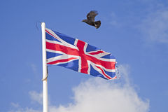 Carrion crow Corvus corone flying over fluttering Union Jack flag Stock Photo