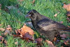 Carrion Crow (Corvus corone) foraging on the ground. Carrion Crow, looking under dead leaves on grass. Picture taken in Bristol, England in January Stock Photo