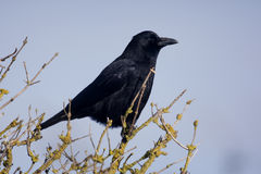 Carrion crow, Corvus corone,. Singe bird on branch Stock Photo