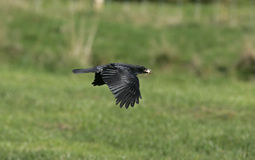 Carrion crow, Corvus corone. Single bird in flight Royalty Free Stock Images