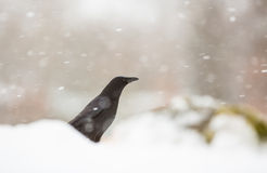 Carrion Crow in a snowstorm Stock Image