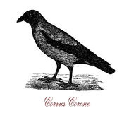 The carrion crow Corvus corone,vintage engraving Stock Photography