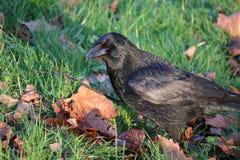 Carrion Crow (Corvuscorone) som söker efter föda på jordningen Arkivfoto