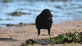Carrion Crow, cuervo, Corvus Corone almacen de metraje de vídeo