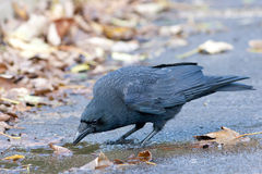 Carrion Crow Drinking from Puddle Stock Photos