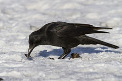 Carrion Crow that eats molluscs. On the ocean Royalty Free Stock Photo