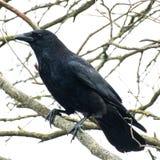 Carrion Crow en árbol imagenes de archivo