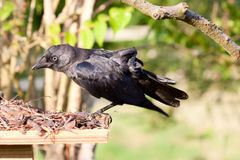 Carrion Crow Juvenile Stretching Stock Photography