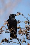 Carrion Crow, Krähe, Corvus Corone Stockfotografie