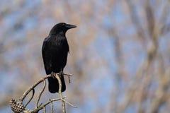 Carrion Crow, Krähe, Corvus Corone Stockfoto