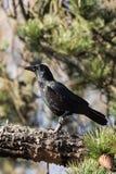 Carrion Crow, Krähe, Corvus Corone Lizenzfreie Stockbilder