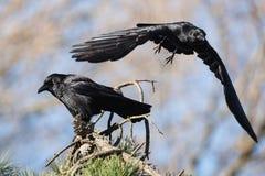 Carrion Crow, Krähe, Corvus Corone Lizenzfreies Stockbild