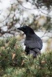 Carrion Crow, Krähe, Corvus Corone Lizenzfreie Stockfotografie