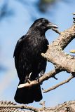 Carrion Crow, Krähe, Corvus Corone Stockfotos