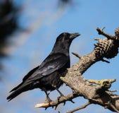 Carrion Crow, Krähe, Corvus Corone Stockbild