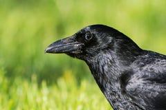 Carrion Crow, Krähe, Corvus Corone Lizenzfreies Stockfoto