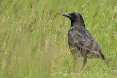 Carrion crow Royalty Free Stock Image