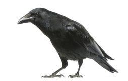 Carrion Crow mit neugierigem Blick, Corvus corone, lokalisiert Lizenzfreie Stockbilder