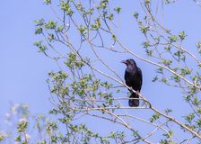 A carrion crow perches on a tree branch under a blue sky, lookin royalty free stock photo