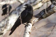 Carrion Crow que se sienta en un otoño soleado del abedul de la piedra de la rama Foto de archivo