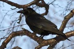 Carrion Crow que siit en un otoño del abedul de la piedra de la rama Foto de archivo