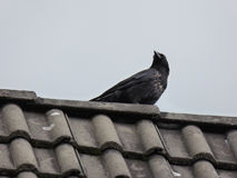 Carrion Crow on Rooftop - Corvus corone. This beautiful carrion crow was photographed on the rooftop of the neighbor's house Stock Photos