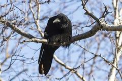 Carrion Crow se está sentando en un abedul de la piedra de la rama Fotos de archivo libres de regalías
