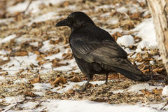 Carrion Crow is sitting on the ground winter day Stock Photo
