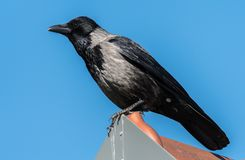 A Carrion Crow sitting on a rooftop. Sunny day blue sky Stock Photo