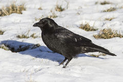 Carrion Crow is sitting on the snow winter day Royalty Free Stock Image
