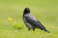Carrion crow Stock Photos