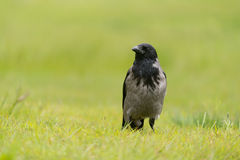 Carrion crow Royalty Free Stock Photos