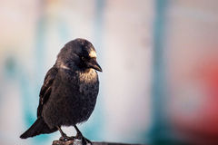Carrion crow on street, corvus cornix , Raven Royalty Free Stock Images